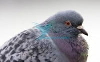 pigeon-scabies