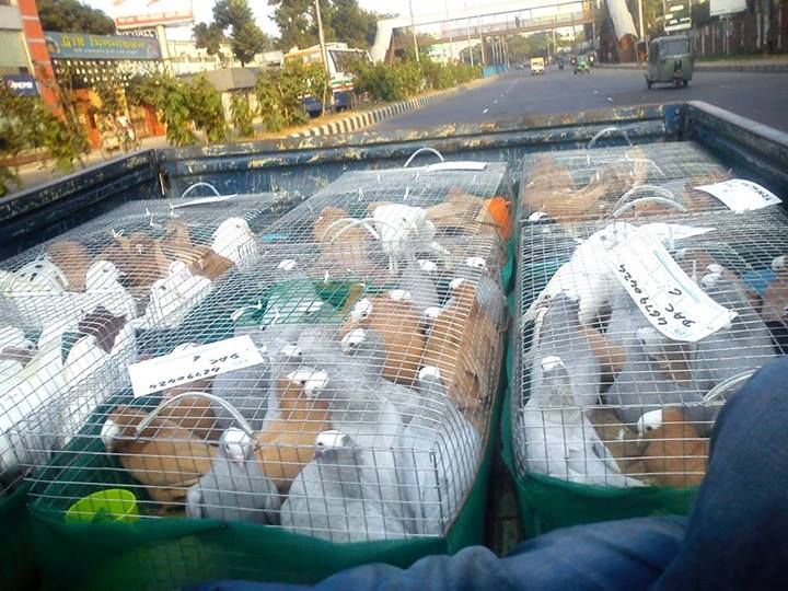 Imported pigeon kobutor for sale