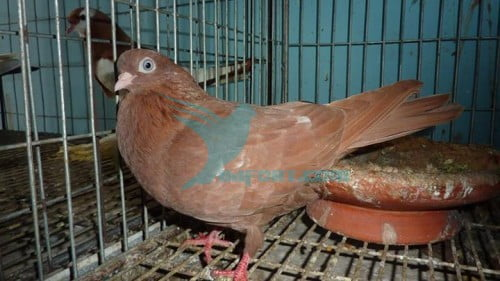Turibaz parlour roller pigeon female 4 sell