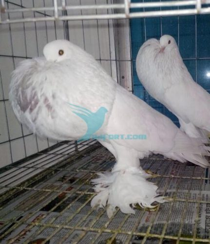 White Pomeranian pouter nor pigeon for sell