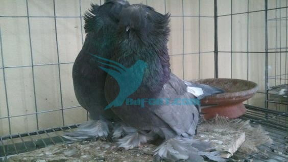 blue Bukhara running pair pigeon