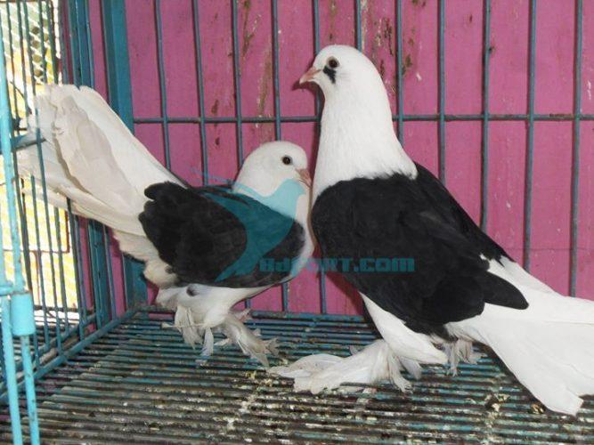 Saddle back Pashuary O por for sale