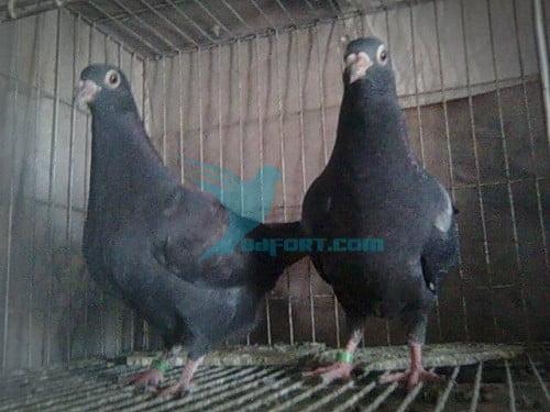 1pair Black homar baby kobutor for sell