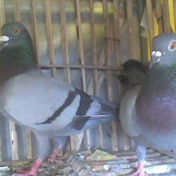 1pair racer huma pigeon for sale