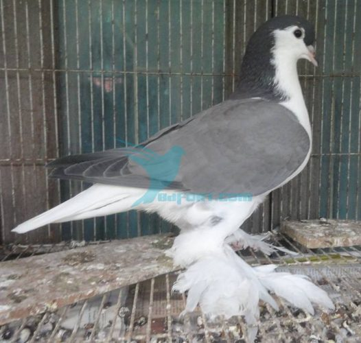 Blue Barless Lahore male 3 por for sale