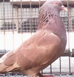 Deep lal gher pure breeding madi pigeon for sale