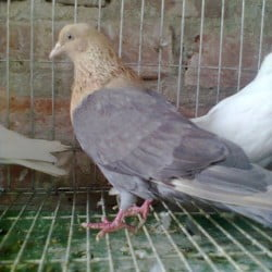 Female Pigeon For sell