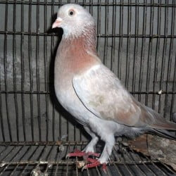 High flyer lalKhaki Nor pigeon for sale