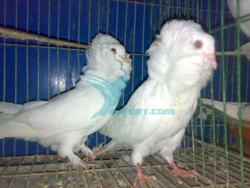 Jacobin pigeon pair for sale