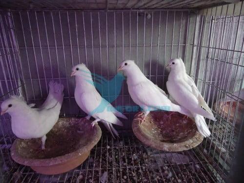 Kagji chuthal nil por baby pigeon pairs for sale