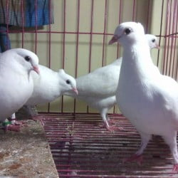 Kagzi baby pigeon for sale