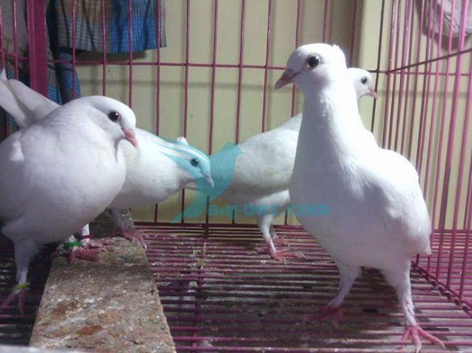 Kagzi baby pigeon for sale