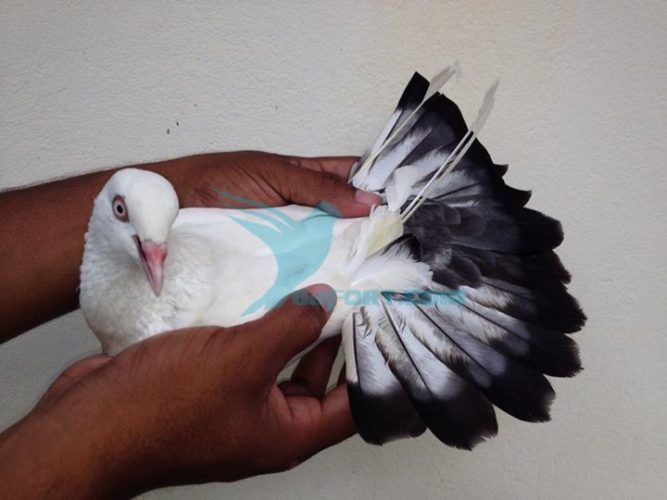 Magpie kaldom female is on sale