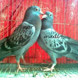 Maksi Homa baby pair for sale