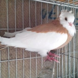 New adult yellow kormona madi for sale