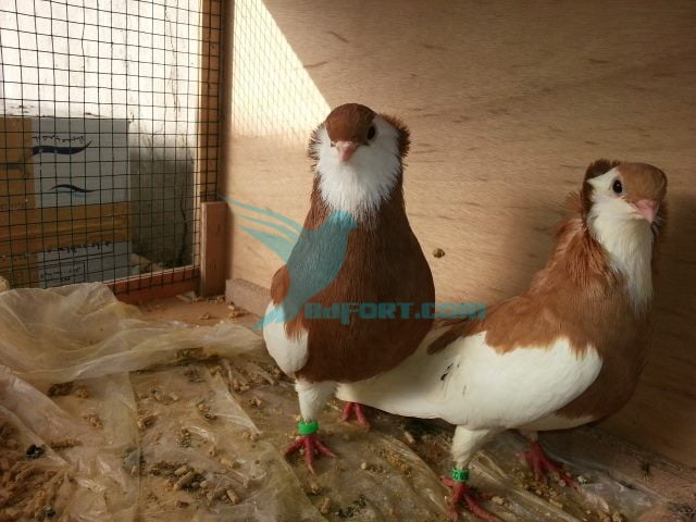 Ringed yellow frilly Hazer pair pigeon for sale