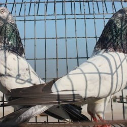 This giribuj pair pigeon for sale