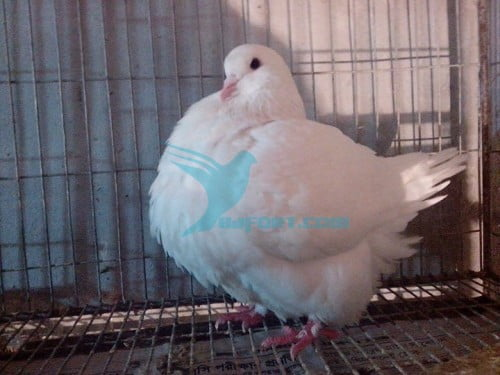 White French Mondain Male 2013 Banded 9 Flight for sale
