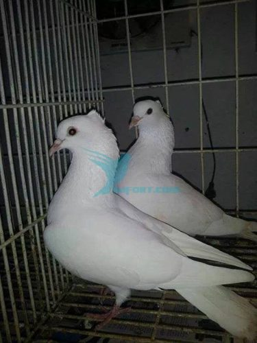 White mukkhi running pair for sell