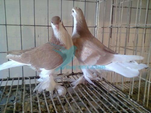 Yellow Siraji baby pair nil por for sell