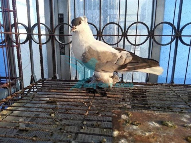 Blue Shallow Nor pigeon for sale