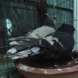 For sell oriental frill running pigeon pair