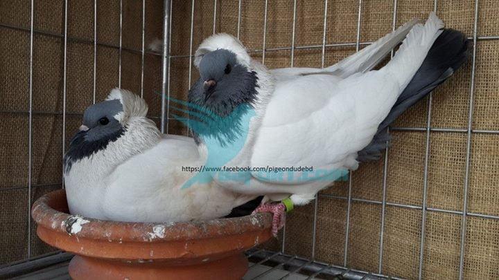 pigeon bd