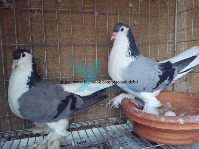 bd pigeon