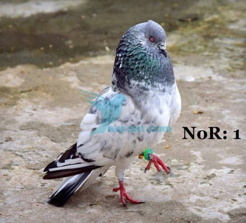 male pigeon