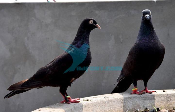 jhak pigeon