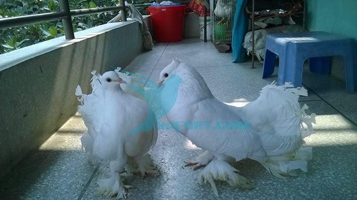 Lokkha running kobutor pair for sale