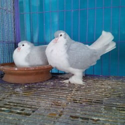 Master Lahore pair for sale