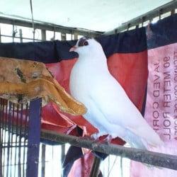 nor pigeon