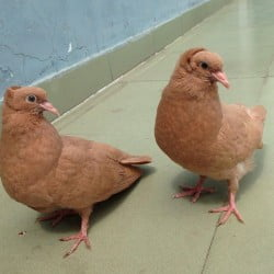 Yellow Bombay pigeon chicks pair for sale