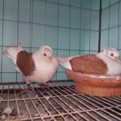pigeon pair