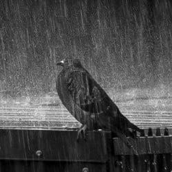 বর্ষাকালীন মাসিক ছক ভিত্তিক কবুতরের খাদ্য Monthly pigeon food Chart of rainy season