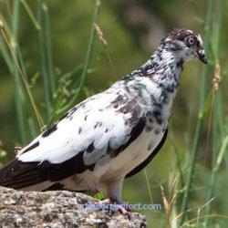 আপনার কবুতরের উপবাস Fasting of pigeon