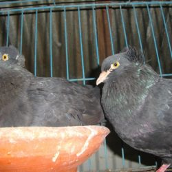Black Bombay (big size) raning pair
