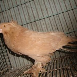 Adult House pigeon ( female )