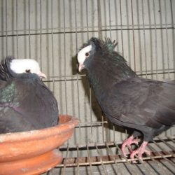 Black Mukkhi (big size) raning pair