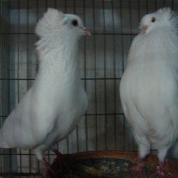 White Bombay (big size) raning pair