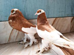Yellow magpie pouter pair For sale
