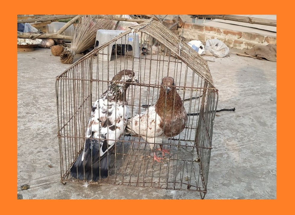 chila pigeon